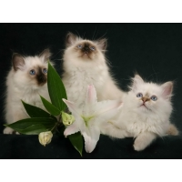 Котята обои (118 шт.)