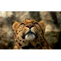 Леопард, фото на комп и обои
