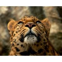 Леопарды обои (22 шт.)