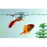 Золотые рыбки, картинки и обои на креативный рабочий стол