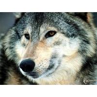 Волк обои (6 шт.)