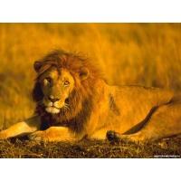 Львы обои (60 шт.)