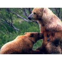 Медведи обои (86 шт.)