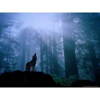 Волки обои (97 шт.)