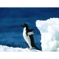 Пингвины обои (2 шт.)