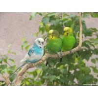 Попугаи обои (42 шт.)