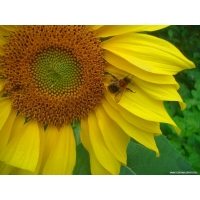 Пчелы обои (7 шт.)