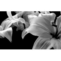Лилии обои (36 шт.)