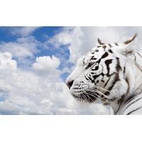 Тигры обои (150 шт.)