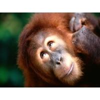 Шимпанзе картинки, картинки - фон для рабочего стола