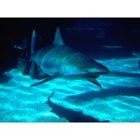 Белая акула картинки, картинки и бесплатные рисунки для рабочего стола