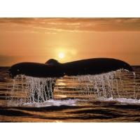 Хвост кита в закате картинки, обои на рабочий стол бесплатно и картинки