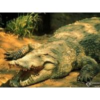 Крокодил обои (3 шт.)