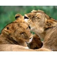 Львица обои (2 шт.)