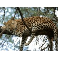 Леопард обои (11 шт.)