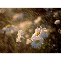 Цветы под дождем - фото и обои для рабочего стола