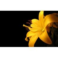 Желтая лилия - картинки и рисунки для рабочего стола скачать бесплатно
