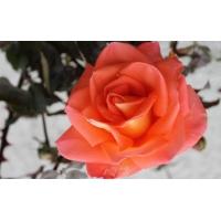 Красная роза - картинки и фотки на рабочий стол