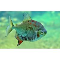 Плоская рыбка - новейшие обои и фото