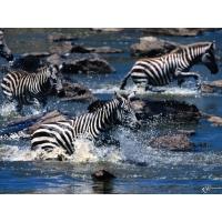 Зебры обои (9 шт.)