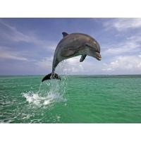 Дельфин прыгает - бесплатные обои на рабочий стол и картинки