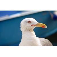 Морская птица - картинки и обои на рабочий стол компьютера скачать бесплатно