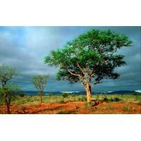 Дерево в африканской саванне - обои для большого рабочего стола и картинки