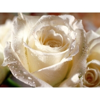 Красивая белая роза - фотообои для рабочего стола и картинки