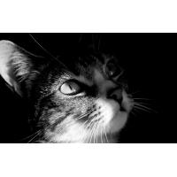 Кот - черно-белое фото - картинки и обои на рабочий стол компьютера скачать