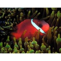 Красная рыба с белой полосой - красивые заставки на рабочий стол