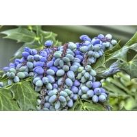 Сладкий виноград - фото на рабочий стол бесплатно