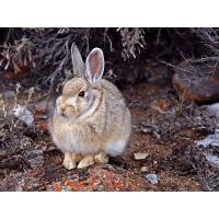 Породистый заяц - картинки, обои, скачать заставку на рабочий стол