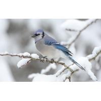 Птица с синими крыльями - картинки, обои на новые рабочие столы