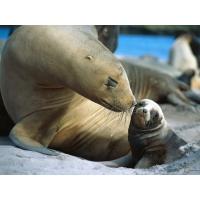 Тюлени обои (3 шт.)