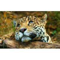 Леопард - картинки и обои, будет новый рабочий стол