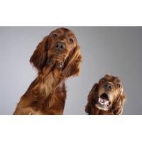 Два пса - фоновые рисунки на рабочий стол