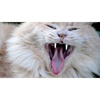 Кошка раскрыла рот - фото и обои на рабочий стол компьютера