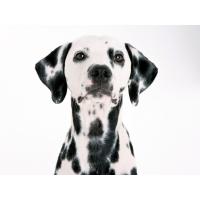 Белоснежный далматинец - картинки и прикольные обои на рабочий стол