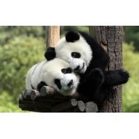 Любвиобильная панда - картинки и обои на рабочий стол 1024 768