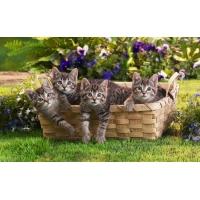 Серые котята - картинки - это супер рабочий стол