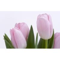 Тюльпаны - картинки и обои рабочего стола скачать бесплатно