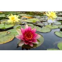 Болотные цветы - картинки и заставки на рабочий стол