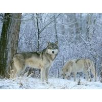 Волки - картинки, обои, скачать заставку на рабочий стол