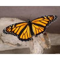 Бабочка обои (2 шт.)