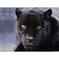 Пантера обои (4 шт.)