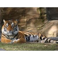 Тигр обои (4 шт.)