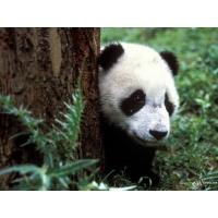 Панда обои (19 шт.)