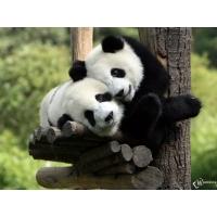 Панды обои (9 шт.)