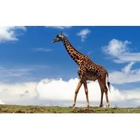 Жираф обои (2 шт.)