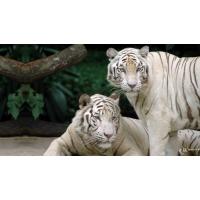 Два белых бенгальских тигра скачать обои для рабочего стола и картинки